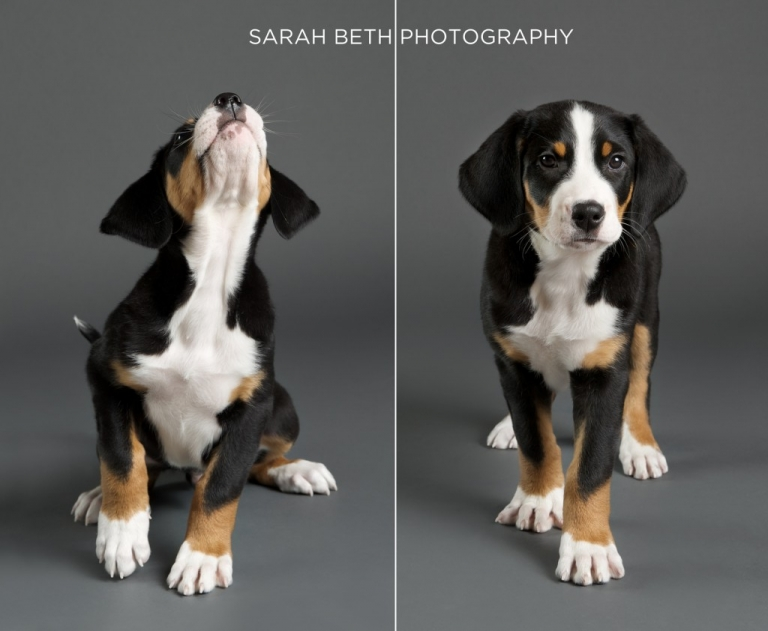 swiss mountain dog puppy, grey studio photo