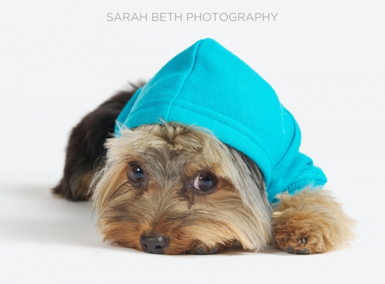 yorkie in a blue hoodie, white background