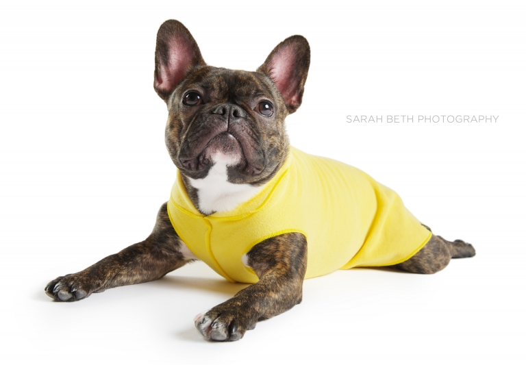 brindle french bulldog in a yellow coat, white background