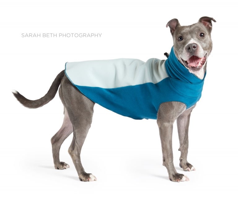 grey pitbull in a blue coat
