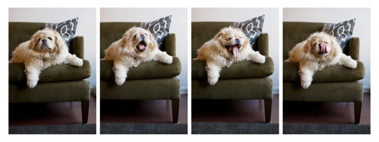 storyboard collage, pekinese  yawning, green couch