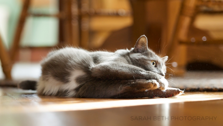 grey cat, playing with catnip toy in sunshine