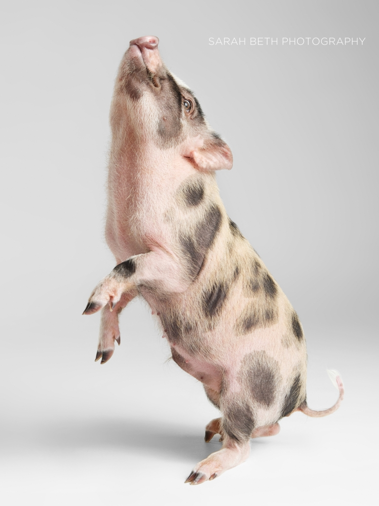 pet pig, white background