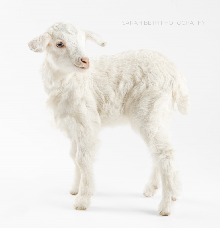white goat kid on seamless background