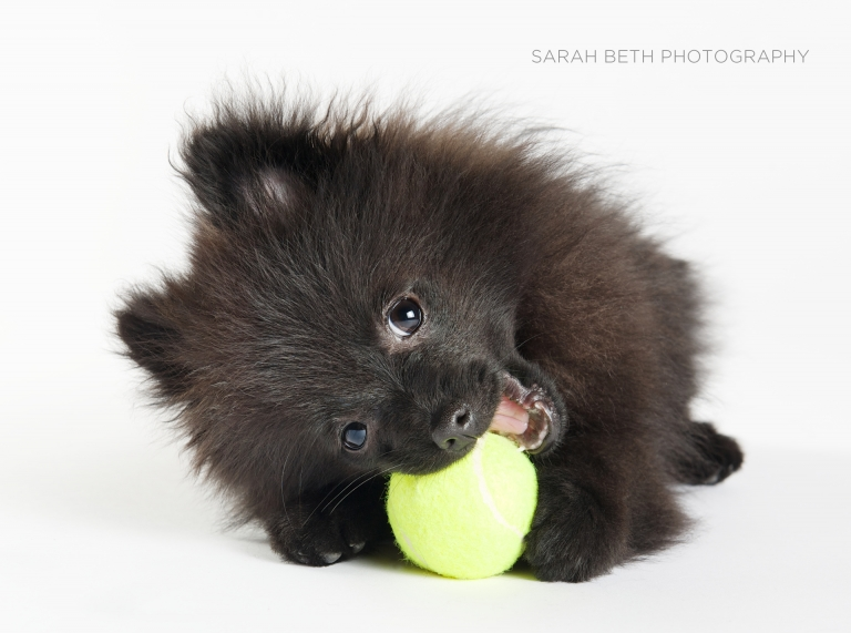 black pomeranian puppy with tennis ball, white background.