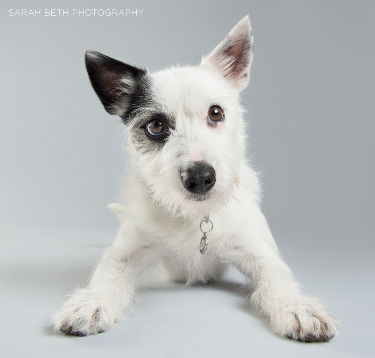 black and white terrier mix