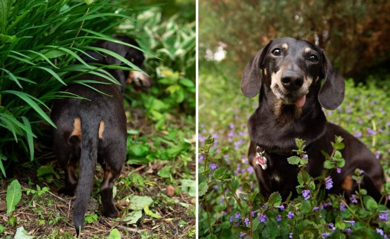 dachshund in the spring