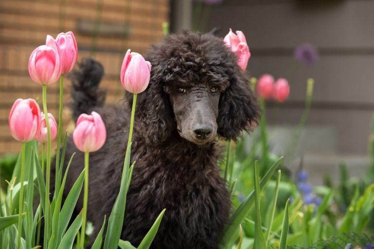poodle in tulips