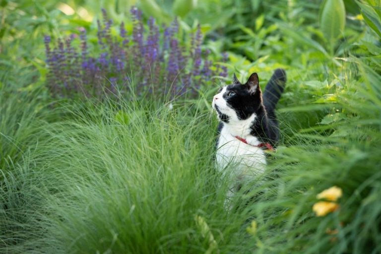 tuxedo cat outside in tall grasses